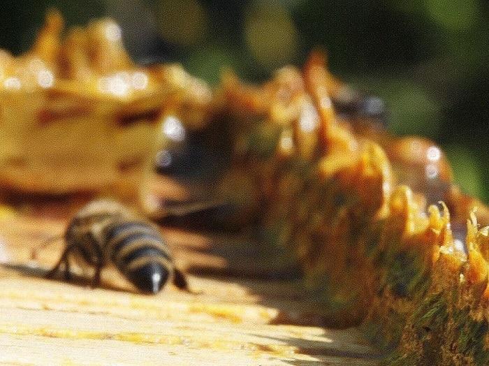 Et si le traitement contre la calvitie venait des abeilles?