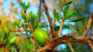 Les effets de l'huile d'Argan sur la calvitie et l'alopécie